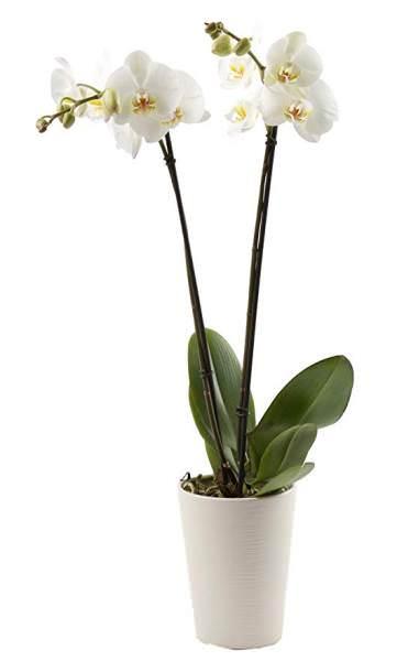 Чому в януть квіти у орхідеї  Як часто поливати орхідею в домашніх ... 768ff24e06b67